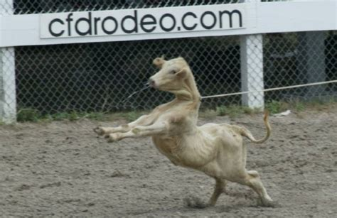 animal abuse inherent  rodeo