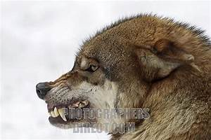The gallery for --> Wolf Head Growling Side Profile