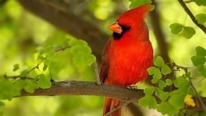 Red, Bird, Wallpaper, 65, Images