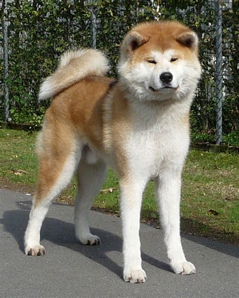 akita history personality appearance health and pictures