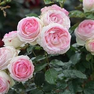 Rosier Grimpant Blanc : rosier grimpant pierre de ronsard racines pot de 4l ~ Premium-room.com Idées de Décoration