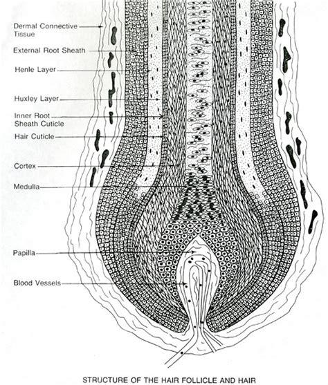 world hair research scalp cross section