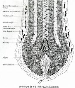 World Hair Research  U00bb Scalp Cross Section