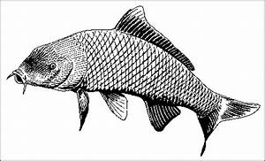 Carp Fish Drawing