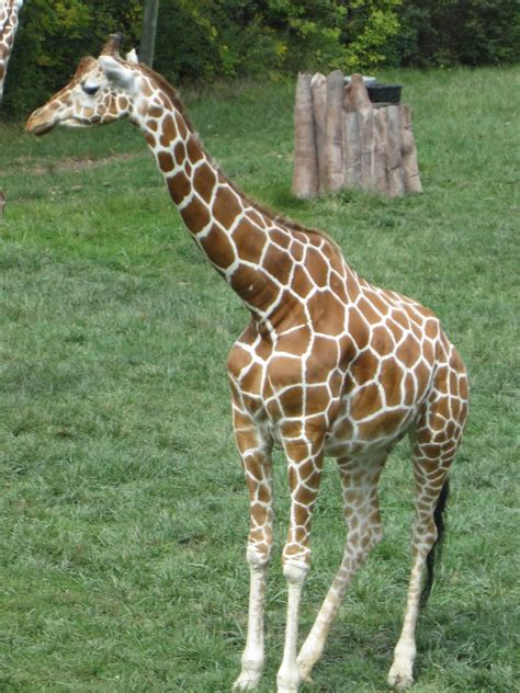 Blogging Bees: All About Giraffes