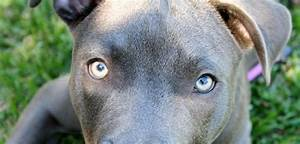 The gallery for --> Blue Dog Breeds
