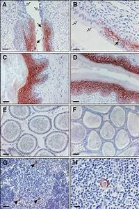 C4 4a Expression In The Mouse And Rat Reproductive Systems