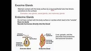 Endocrine Vs Exocrine Glands