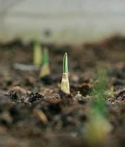 Culture De L Ail : ail archives jardinage bio net ~ Melissatoandfro.com Idées de Décoration