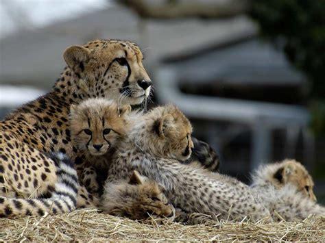 introduction  captive breeding national geographic society