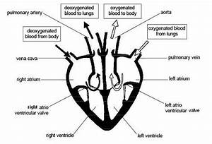 Using Simple Heart Diagram: Learning Medium For Kids ...