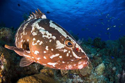 grouper nassau groupers fish species fau mating eavesdropping calls survival key caribbean newsdesk sea epinephelus striatus edu
