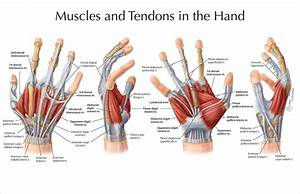 Pin On Anatomy And Use Of The Hand And Arm