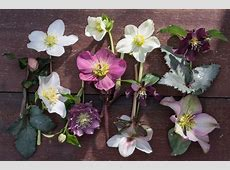 Garden Plant of the Month of December Christmas Rose