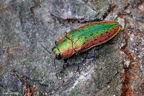 Jewel Beetle Photos, Jewel Beetle Images, Nature Wildlife ...