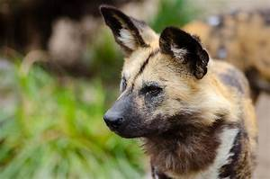 Ear Hematoma in Dogs and Cats - Hasting Veterinary Hospital
