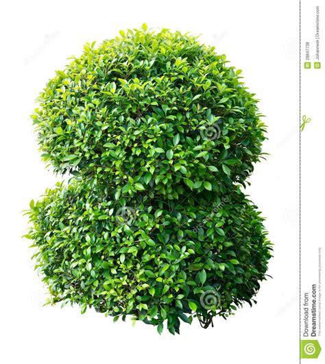 shrub image ornamental plant stock photo image of plant green round 28847738