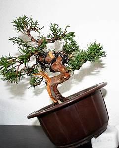 Chinesischer Wacholder Bonsai : erstgestaltung eines chinesischen wacholders juniperus chinensis ~ Sanjose-hotels-ca.com Haus und Dekorationen