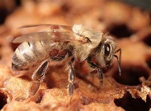 Mittel Gegen Bienen : lithiumchlorid neues medikament gegen varroa milbe bienen natur ~ Frokenaadalensverden.com Haus und Dekorationen