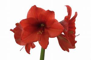Amaryllis Zum Blühen Bringen : amaryllis berwintern so klappt 39 s ~ Lizthompson.info Haus und Dekorationen