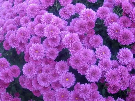 pictures of mums flowers button mums garden treasures pinterest