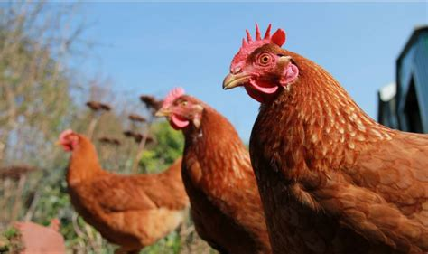 are chickens color blind 9 facts about chickens types of chicken