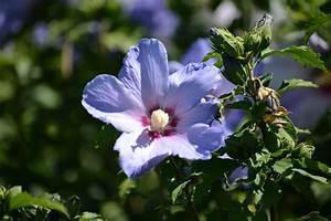Hibiskus Stämmchen Kaufen : hibiskus kaufen bl h und heckenpflanze aus wien marchfeldpflanzen liefern lassen ~ Buech-reservation.com Haus und Dekorationen