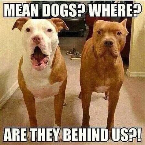 Funny Pitbull Memes - 120 best images about pit bull memes on pinterest