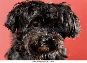 Black Maltese Dog