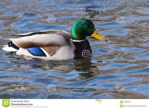 Mallard Duck On Water Stock Photo Image Of Water, Male