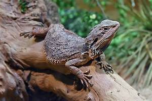 Eastern bearded dragon - Wikipedia