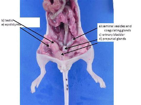 male reproductive organs    larger  larger