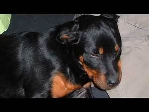 Bristol: Our Rottweiler Puppy at 6 Months Old - YouTube