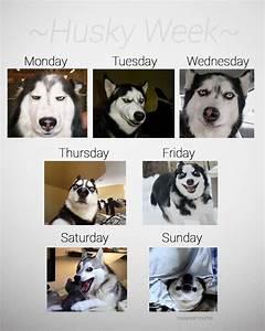Funny Husky Has Jokes | www.imgkid.com - The Image Kid Has It!
