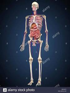 Human Skeleton With Organs And Circulatory System Stock