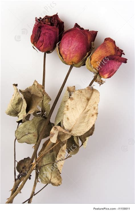 photo  withered red rose