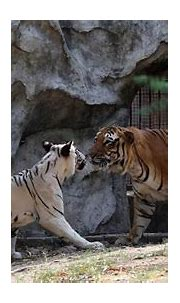 A love story at Delhi Zoo, starring Royal Bengal and a ...