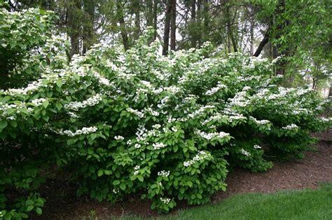 viburno viburnum viburnum piante da giardino