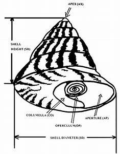 Marine Snails Seed Production Towards Restocking