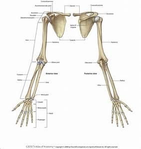 Human Skeleton Upper Limb