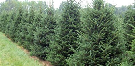 noble fir transplants bosch s countryview nursery inc specializing in seedlings transplants
