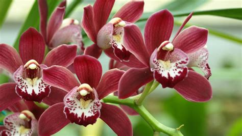 secrets  repotting orchids revealed  examiner