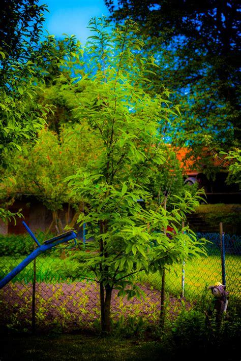 Im Garten Wuchs Der Baum by Der Kastanien Baum Im Garten Foto Bild Landschaft