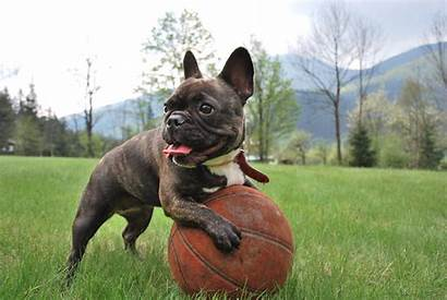 Calm Breeds Dog French Bulldog Dogs Quiet