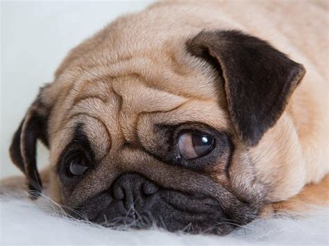 Depressed Pug Meme - pin depressed pug on pinterest