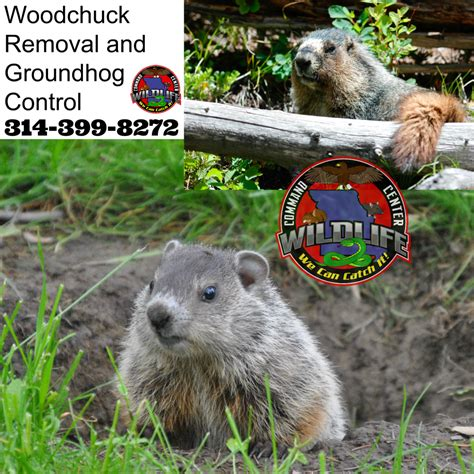groundhog bait related keywords groundhog bait long tail