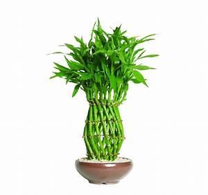 Bambus Pflegen Zimmer : bambus zimmerpflanze kaufen bambus pflanze kaufen bei obi ~ Lizthompson.info Haus und Dekorationen