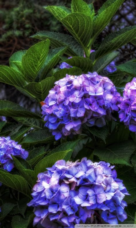 purple hydrangea hdr  hd desktop wallpaper   ultra
