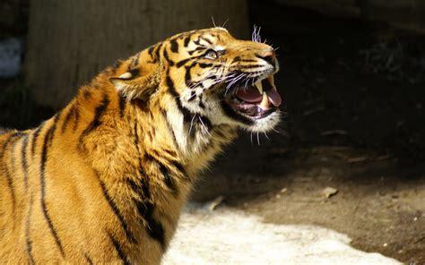 wallpaperfondo de pantalla de tigrestiger