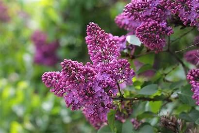 Lilac Tree Flowers Spring Blossom Flowering Desktop